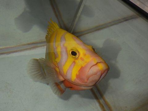 シマハタ(Cephalopholis igarashiensis)88 深海魚飼育 ネプチューングル―パー