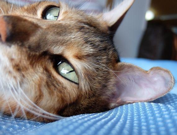 ネコ ねこ 猫 病気 耳血腫 水ぶくれ 耳たぶ