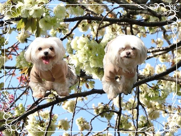 レディスと桜