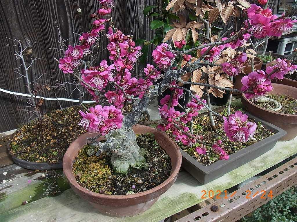 鉢物 桃の花