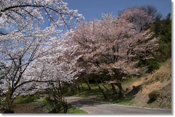奥卯辰山健民公園・大池-10 ソメイヨシノと山桜-2 16.4.6