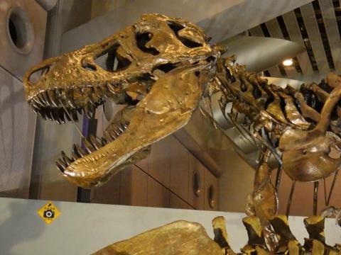 恐竜展2017巨大化の謎にせまる31 ティラノサウルスの全身骨格