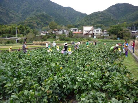 曙大豆収穫体験の様子1.jpg