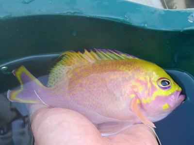 沖縄深海魚採集2013年7月下旬5 バラハナダイ(Odontanthias katayamai)