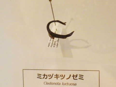 大阪市立自然史博物館2019年7月下旬25 ミカヅキツノゼミの標本