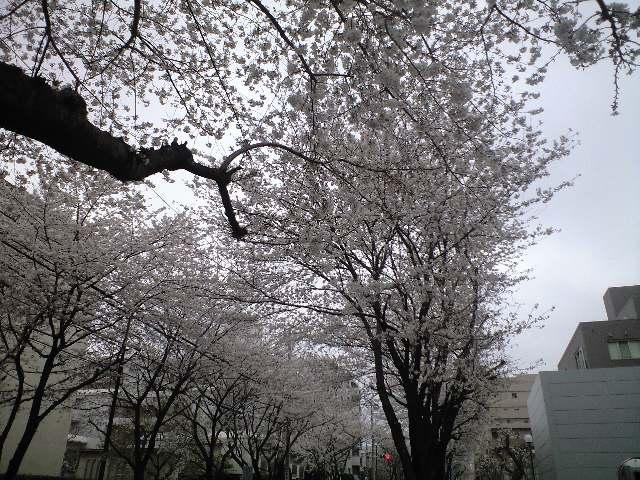 櫻並木.jpg