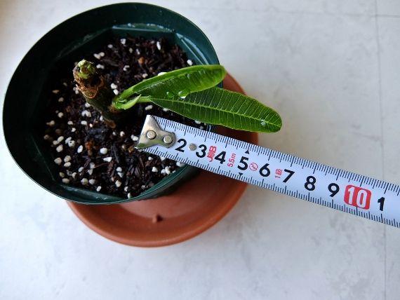 プルメリアの水栽培 冬越し