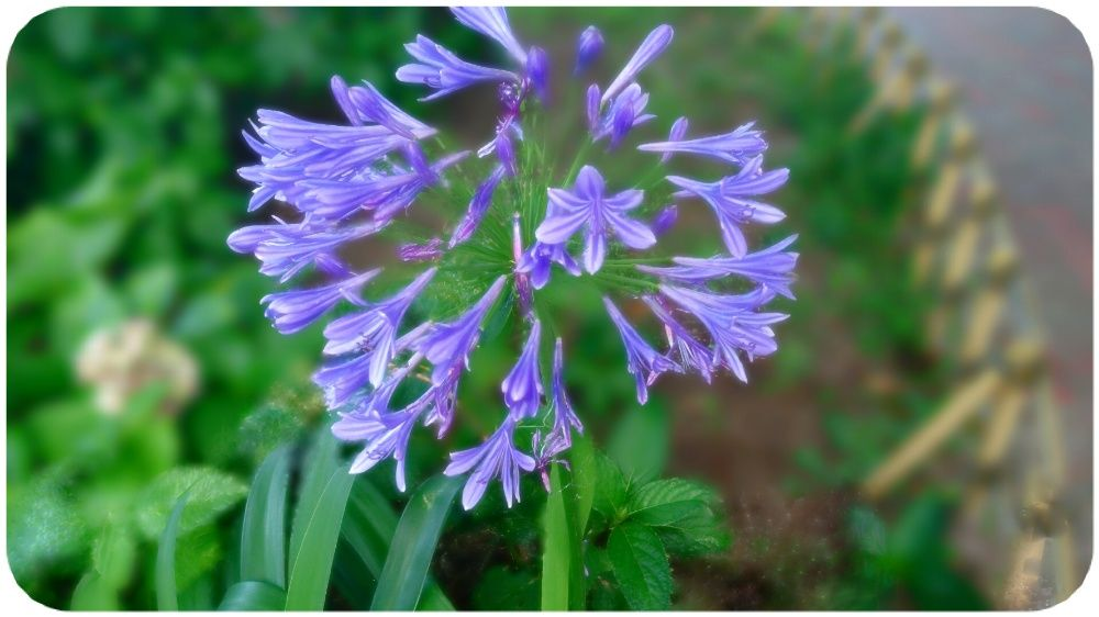 Agapanthus(アガパンサス)は ギリシャ語の 「agapa(愛らしい) + anthos(花)」
