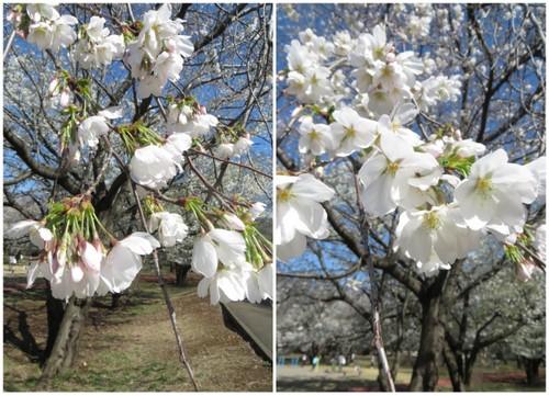 お花見樹林公園20141.jpg