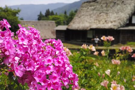 4ピンクの花と合掌造り.jpg
