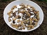 クラピアの庭にコガネムシの幼虫が大量発生