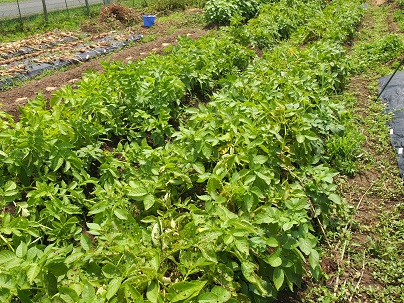 H28年 6月 収穫前のジャガイモ(キタアカアリ・十勝こがね).jpg