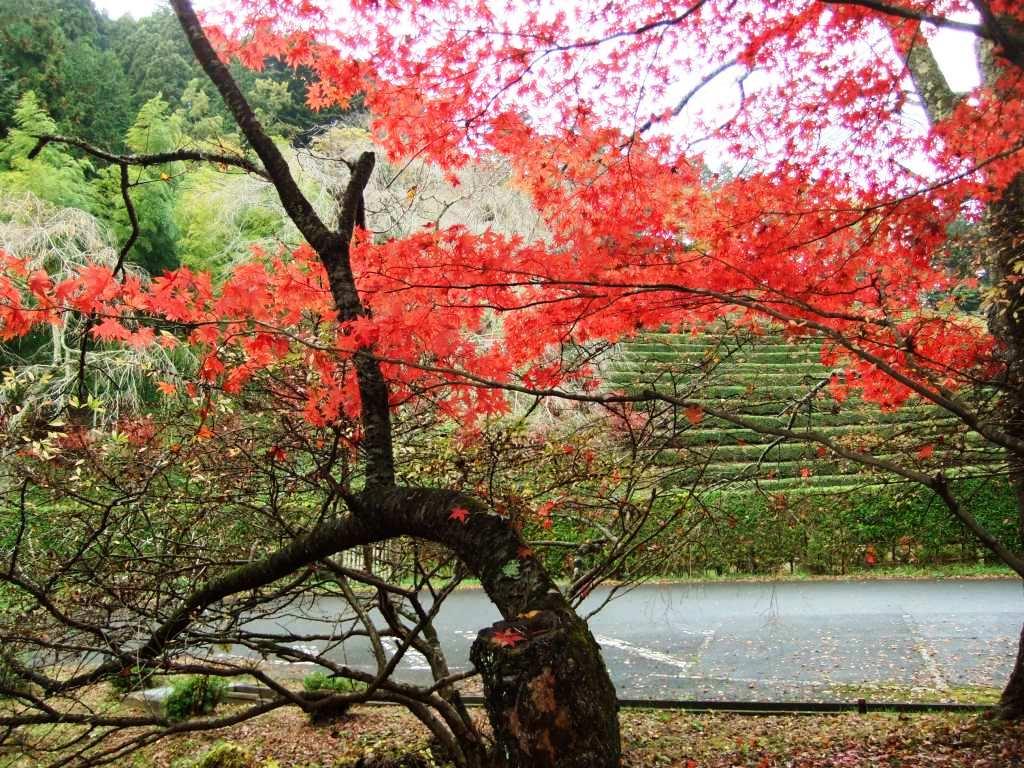 雨上がりの紅葉1