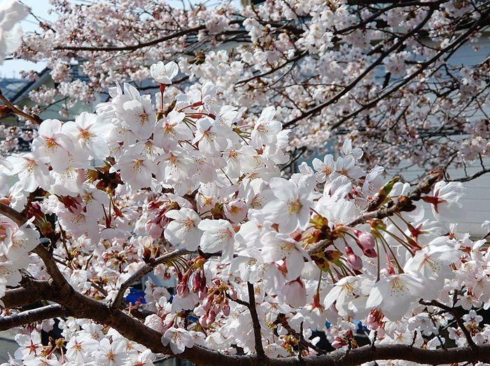 並木の桜1