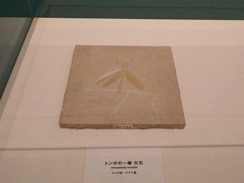 大阪市立自然史博物館2019年7月下旬6 トンボの一種の化石 ジュラ紀