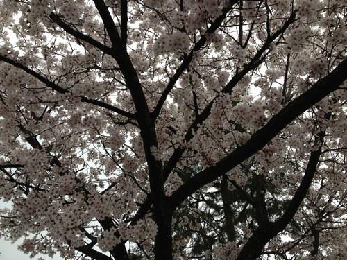 1桜4月3日5001.jpg