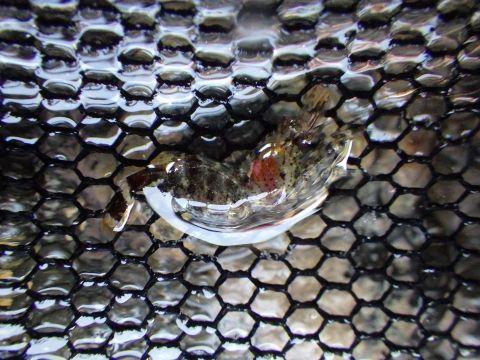 串本磯採集2018年6月上旬37 モエビ科の一種(Hippolytidae sp.)