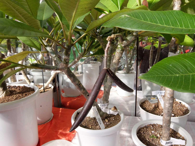 プルメリア 希少 MiniWhite ホワイト 種 花 鞘 Jungle Jack's  Plumeria