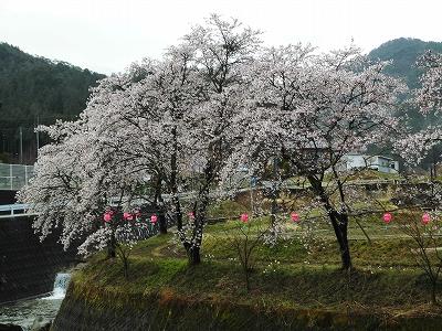 20170419小町桜2.jpg