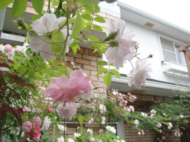 ようこそわが庭へ その3 家の周りと小さい庭   白いつる薔薇の ...
