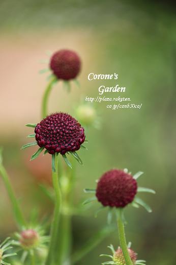 CORONE'S GARDEN