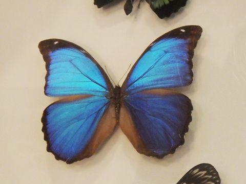 大阪市立自然史博物館2019年7月下旬10 メネラウスモルフォの標本