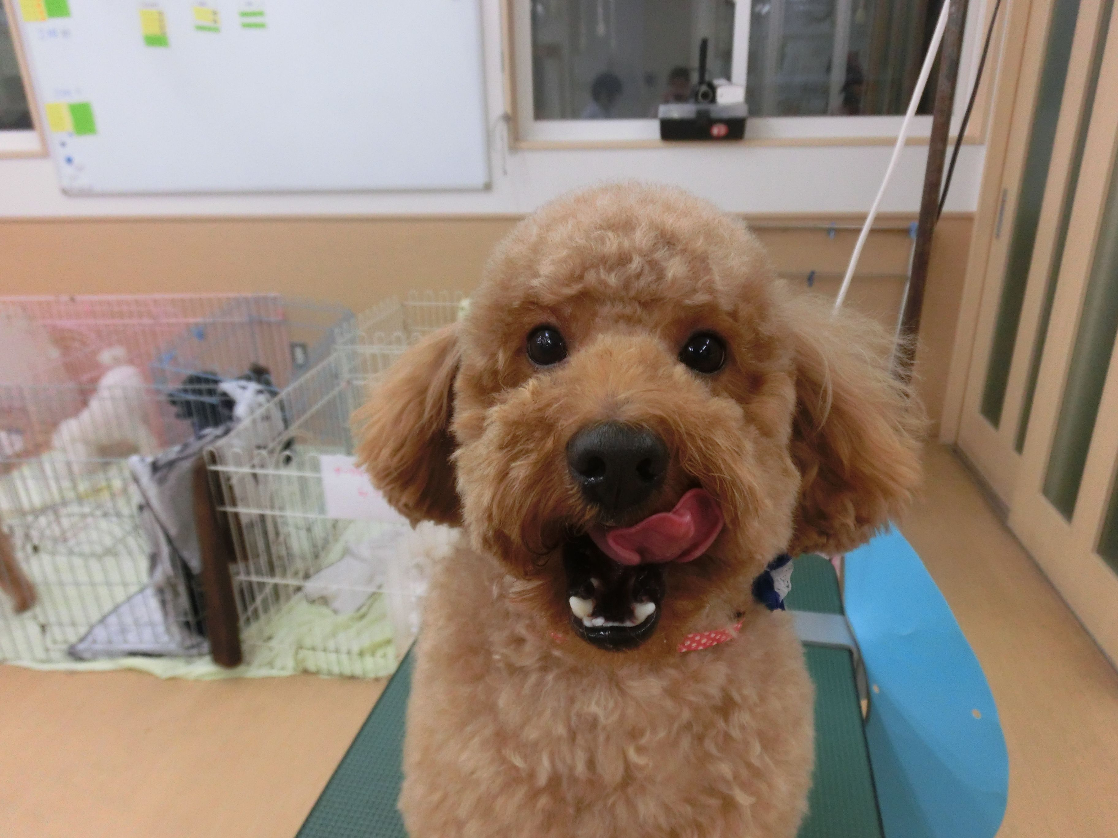 Resultado de imagen para 犬 Goldendoodle
