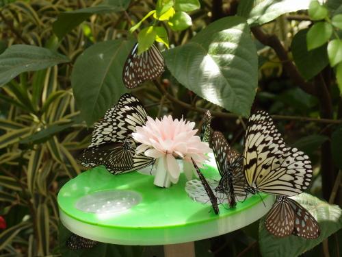 蜜皿に群がるチョウ