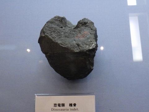 大阪市立自然史博物館2017年4月下旬16 ハドロサウルス類の可能性が高い脊椎化石