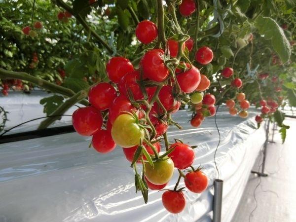 せんだい農業園芸センターでトマト狩り   アルモントホテル ...