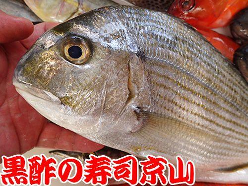 ヘダイ 平鯛 寿司