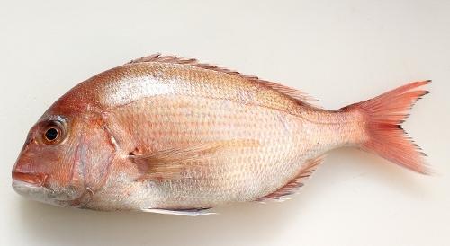 紅葉鯛.jpg