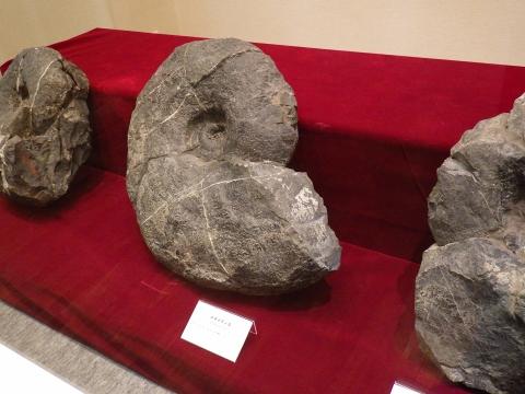 大阪市立自然史博物館2017年4月下旬15 アンモナイト メヌイティスの化石 讃岐山脈