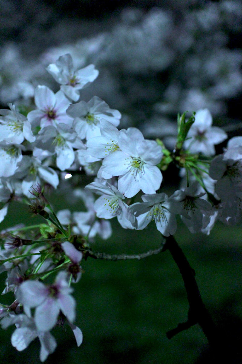 夜桜5.JPG