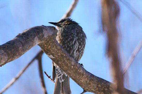 野幌原生林 野鳥