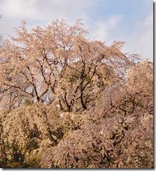 六義園しだれ桜3.jpg
