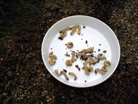 クラピアの庭にコガネムシの幼虫が大量発生3