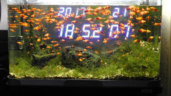熱帯魚水槽 プラティ ウィローモス