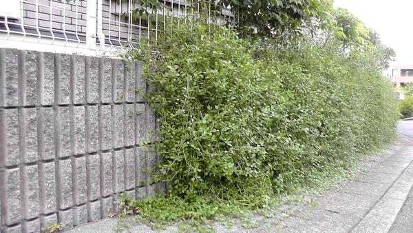 壁を垂れて道に広がるイワダレソウ
