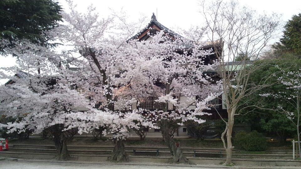 0403 奈良桜