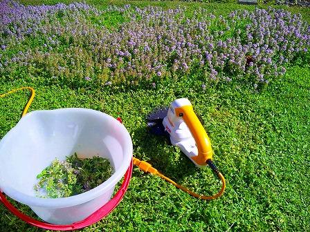 ロンギカウリスの花を刈り込みました3