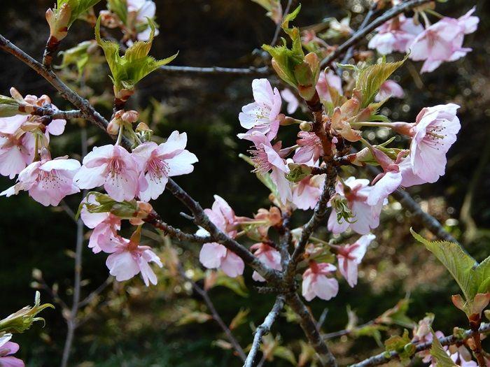 河津桜17