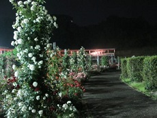 night rose 18.jpg
