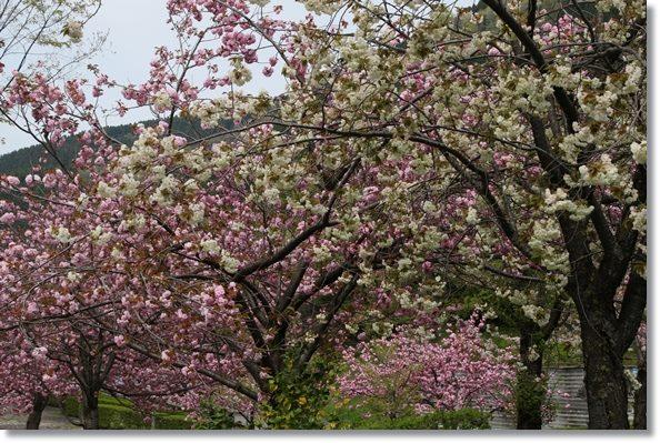 パーク獅子吼-2 二色の桜 16.4.20