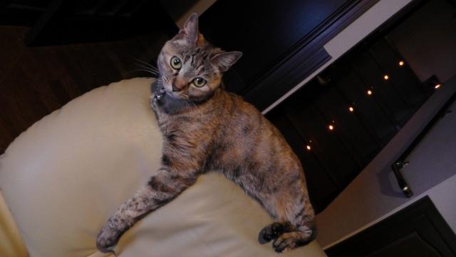 ソファの背もたれの上にいるネコ