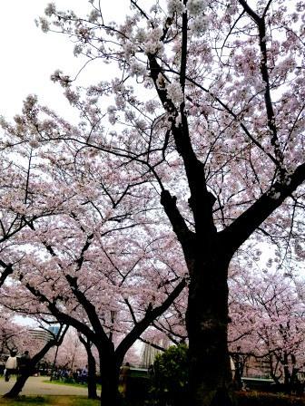 20130413お花見(桜ノ宮).JPG