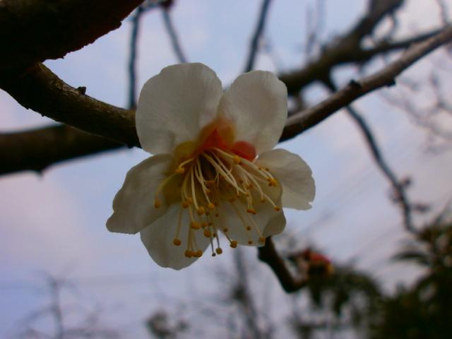 白加賀開花2.25