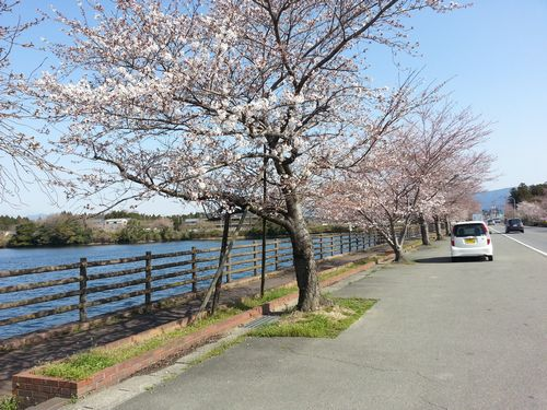 0330両ヶ池桜2.jpg