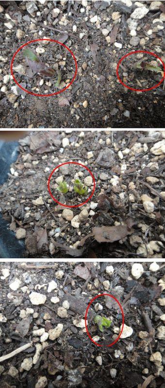 頂きもののミニダリアの発芽