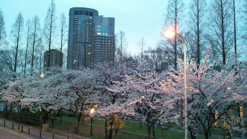 0330 桜の宮桜